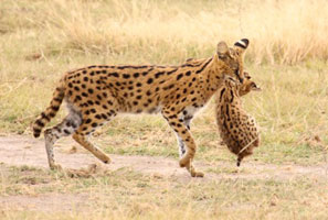 Serval kitten with cub