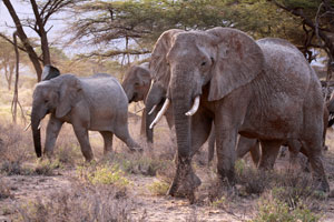 Elephants in Shaba