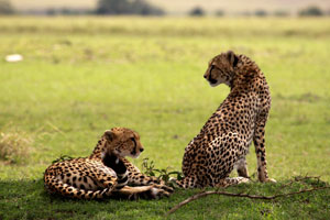 Cheetah smum an her grown cub Mara