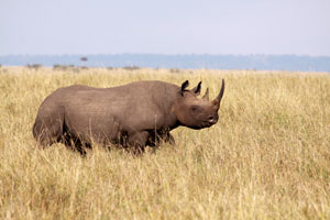Rhino in the Mara