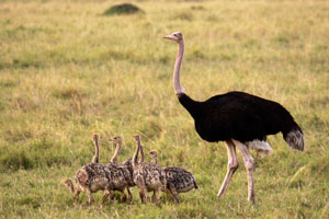 Daddy ostrich and his young