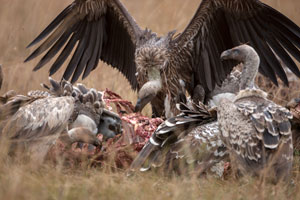 Vultures on a kill