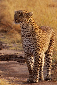Leopard at the start of a hunt
