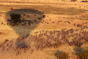 Wildebeest seen from a hot air balloon over the Serengeti