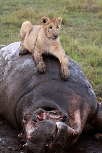 Young lion eating a hippo