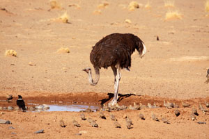 Ostrich, pied crow and sand grouse, Kulala