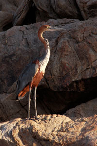 heron on the Kunene river