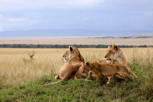Lionesses with cubs, Mara