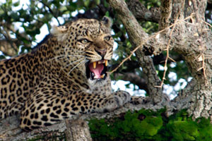 Leopard cbs not wanting to share its meal