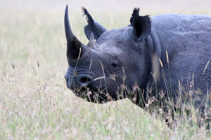 A rare sighting of a rhino in the Mara