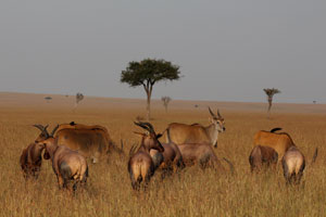 Mixed herd, eland and Topi