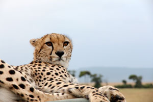Cheetah resting on Ninians car, Mara