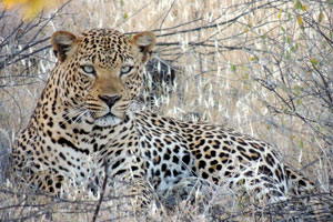 Beautiful leopard in Shaba