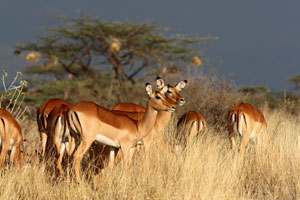 Impala with stormy sky, northern Kenya