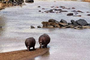 Hippo on the Mara