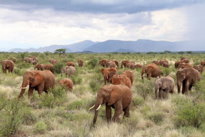 herd of 300 plus elephant northern Kenya