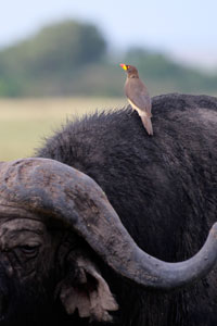 Buffalo and tick bird