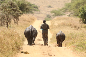 baby rhinos out for a walk with their keeper- lewa