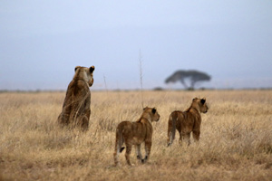 Lioness teaching her cubs to hunt in Amboseli