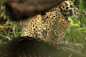 Feasting leopard