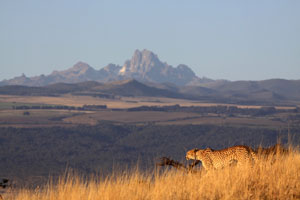 Cheetah on Lewa, Mt Kenay as a backdrop