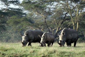 Three rhino Nakuru
