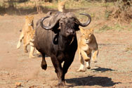 Lowis & Leakey | Privately guided safaris | our news and updates